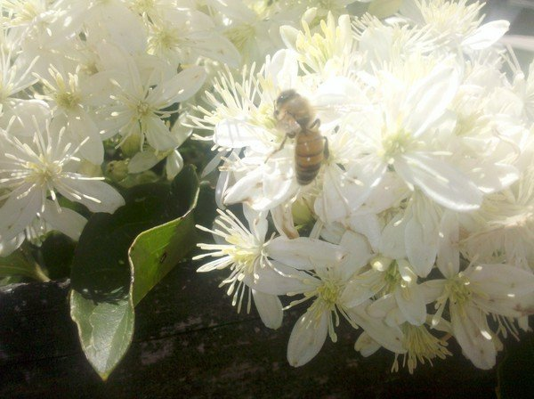 Whats blooming nashville area beekeepers association august clematis mightylinksfo