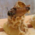 Mike Haney queen bee