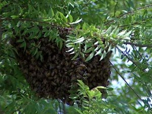 swarm of honey bees in nashville